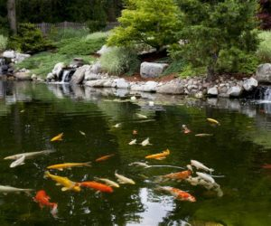 Fish Swimming In Koi Pond, Koi Ponds, Koi Pond Design, Koi Pond Installation, Landscape Designer Western MA, Landscape Architect Western MA
